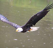 Bald Eagle by DutchLumix