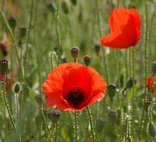 Poppies by Mark Thompson