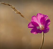 Straw Flower by geoff curtis