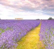 Lavender Panorama by Sunnymede