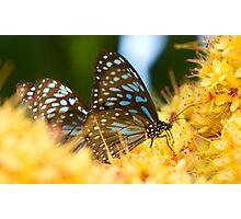 Blue tigers, Mission Beach FNQ. Photographic Print