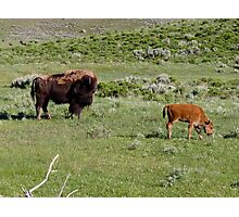 American Bison in Yellowstone National Park Photographic Print