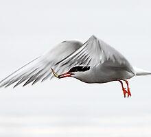A Little Fishy / Common Tern by Gary Fairhead