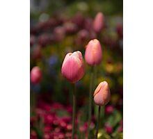 Tulips Flowers Photographic Print