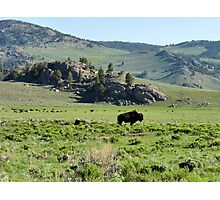 American Bison Herd ~ Yellowstone National Park Photographic Print