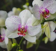 Orchid Photo no5 by aprilbernphoto