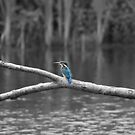 1st Kingfisher ~ Selective Colourisation ~ by Sandra Cockayne