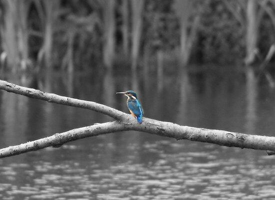 1st Kingfisher ~ Selective Colourisation ~ by Sandra Cockayne