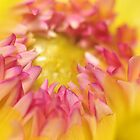 Pink and Yellow Dahlia, As Is by Kim McClain Gregal
