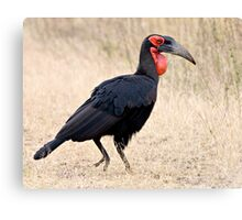 Southern Ground Hornbill Canvas Print