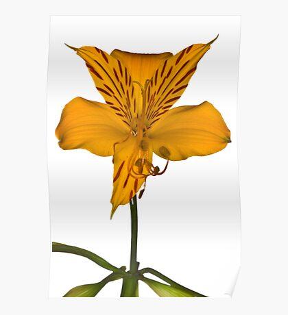 Yellow Alstroemeria on white background Poster