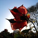 Rose in the Garden by Keith Stephens
