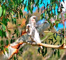 River Gum Tenants by HG. QualityPhotography