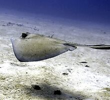 Sting Ray at Play by Amy McDaniel