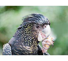 Eating Peanuts - black cockatoo Photographic Print