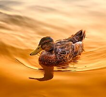 Golden Mallard Reflections by daphsam