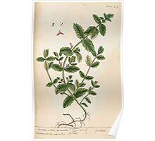A curious herbal Elisabeth Blackwell John Norse Samuel Harding 1739 0564 Scordium or Water Germander Poster