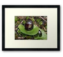 Helmet Orchids, Mt Barker Summit Framed Print