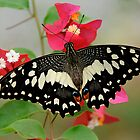Emperor Butterfly Thailand by DonMc
