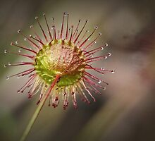 Climbing Sundew, Rear View by Barb Leopold