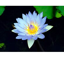 Blue - waterlilly Photographic Print