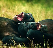 Chimps Playtime by Samantha  Nicol