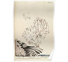 A curious herbal Elisabeth Blackwell John Norse Samuel Harding 1739 0234 White Coral Poster