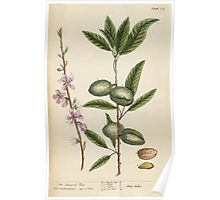 A curious herbal Elisabeth Blackwell John Norse Samuel Harding 1737 0272 The Almond Tree Poster