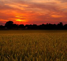 Golden crops at sunset by Shaun Whiteman