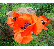 My Poppies Photographic Print