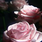 Rose rose rose......................pinky white roses by LisaBeth