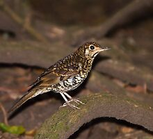 Bassian Thrush ~ Seldom Seen by Robert Elliott