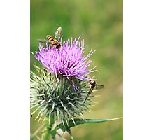 Summer Thistle and hoverflies Photographic Print