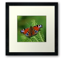 Beautiful Peacock butterfly Framed Print