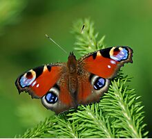 Beautiful Peacock butterfly Photographic Print