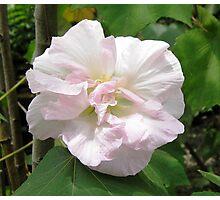 Delicate Hibiscus Photographic Print