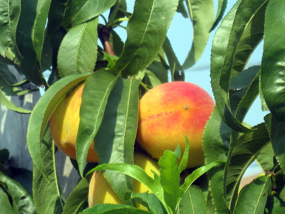 Peach Tree by Darlene Bayne