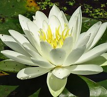 White Water Lily by lorilee