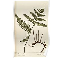 A curious herbal Elisabeth Blackwell John Norse Samuel Harding 1739 0190 Female Fern or Brakes Poster