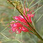 "Grevillea ""Bonfire"" by Trish Meyer"