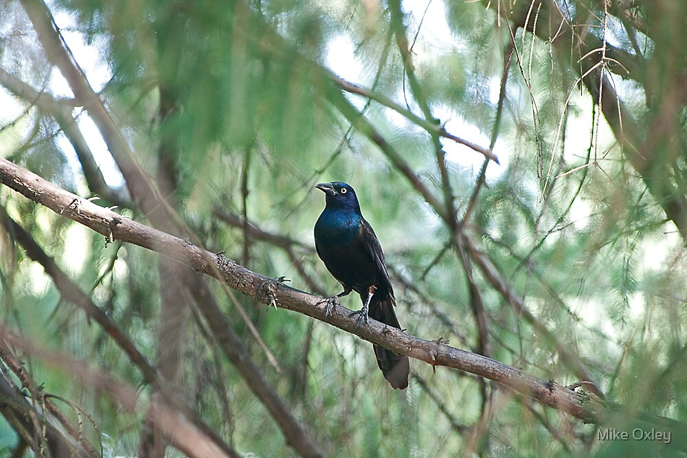 Common Grackle by Mike Oxley