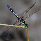 Dragonfly cousin of Rainbow Eyes by Sunshinesmile83