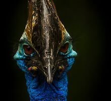 The Cassowary  by Darren Wilkes