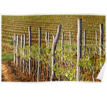 Spring in vineyard Poster