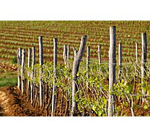 Spring in vineyard Photographic Print
