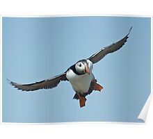 Puffin flying Poster