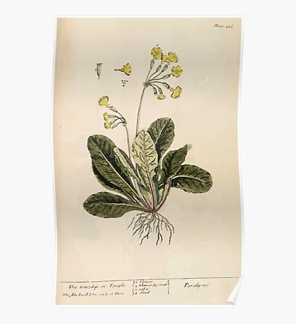 A curious herbal Elisabeth Blackwell John Norse Samuel Harding 1737 0578 The Cowslip or Paigle Poster