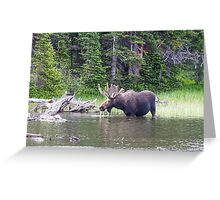 Water Feeding Moose Greeting Card
