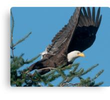 Bald Eagle Spots Its Prey Canvas Print