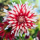 Dahlia Flower, Red and White by Stacey Lynn Payne
